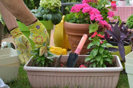 Hands in garden gloves re-potting red flower in a lush garden in spring