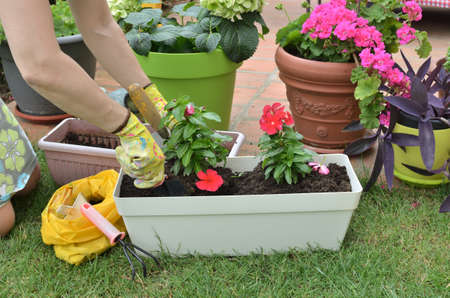 Woman re-potting red flowers in a garden in spring Stock Photo