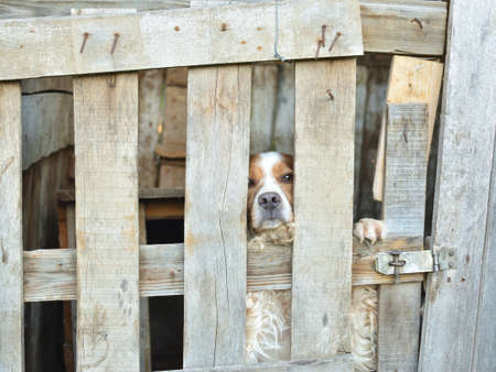 Dog - epagnuel breton - behind wooden lattices of his garden house