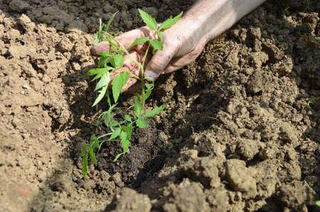 Planting tomato seedling in a backyard garden in spring