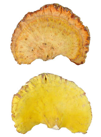 Edible mushroom - chicken-of-the-woods - isolated on white background (averse and reverse)