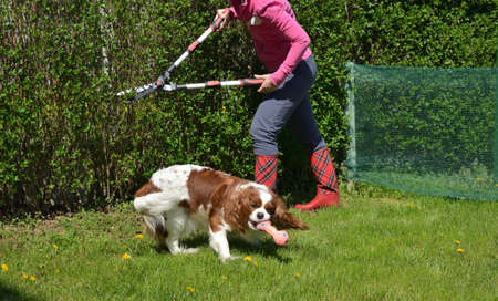 Woman trimming a garden hedge in a company with her charming dog - cavalier king charles spaniel