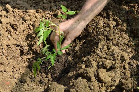 Planting organic tomato seedling in a backyard garden in spring Stock Photo