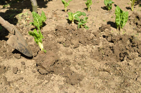 Planting Swiss chard seedlings with shovel in a backyard garden in spring Stock Photo