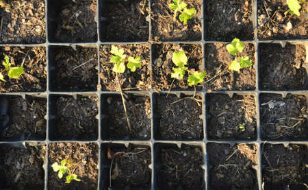Young seedlings in small square plastic pots - shot from above Stock Photo