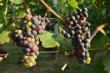 Red grape in a vineyard during summer season