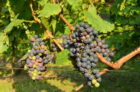 Juicy red grapes and lush green vine in a vineyard in summertime
