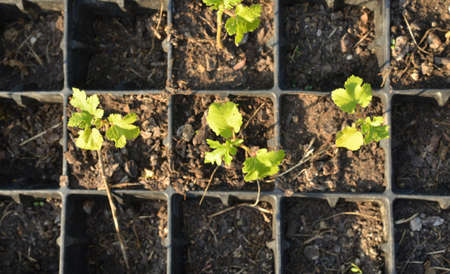 Stems of young plants in small square plastic pots - shot from above Stock Photo