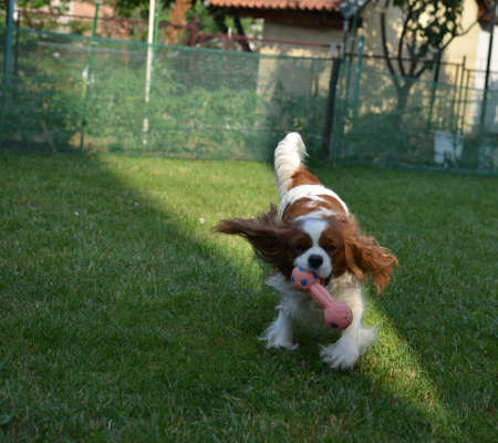 Charming dog - Cavalier King Charles Spaniel - joyfully running with a toy on a garden lawn
