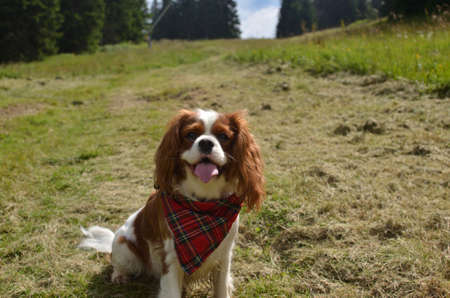 Cavalier King Charles spaniel with a red tartan scarf sitting on a green meadow 版權商用圖片