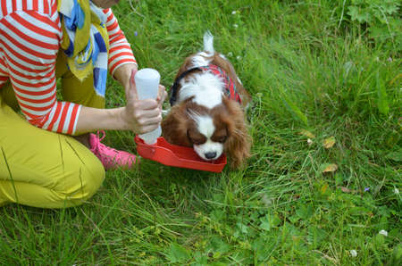 Woman giving her Cavalier King Charles spaniel to drink from a water dispenser for dogs