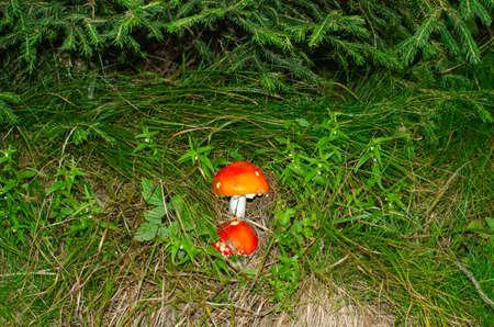 Two red mushrooms hidden in green grass