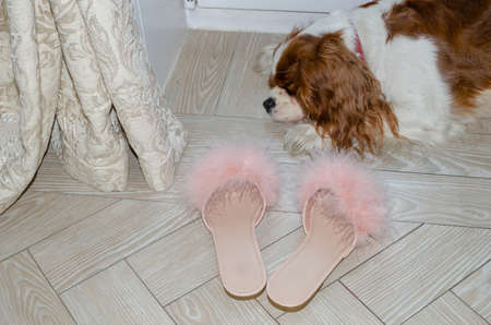 Flat pink feather slippers left next to a lovely sleeping dog - Cavalier King Charles spaniel