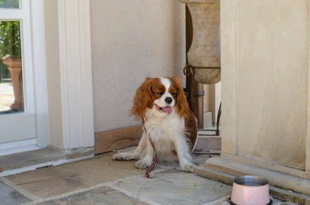 Cavalier King Charles Spaniel looking at its bowl with water 写真素材