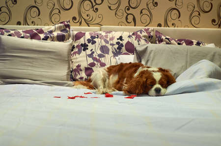 Charming Cavalier King Charles spaniel is sleeping on a bed in a pet friendly hotel