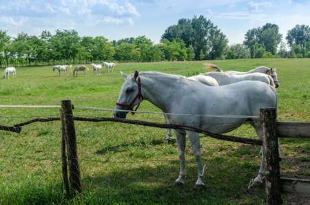 White horses standing on a farmland near a fence