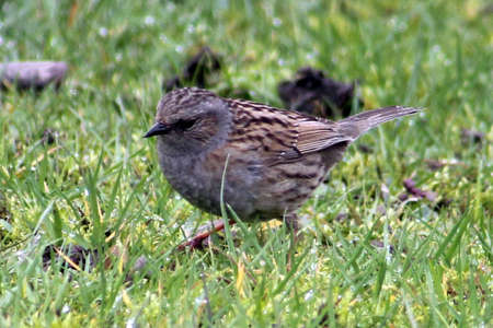 prunella: Hedge Sparrow