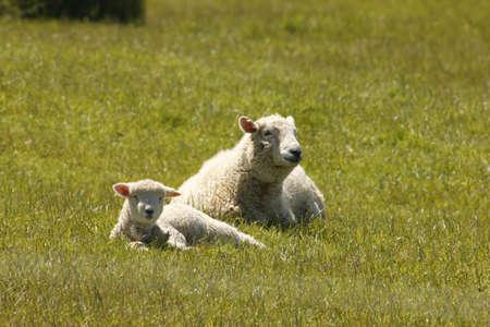 ewe: Ewe and Lamb Stock Photo