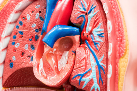 Close-up of Internal organs dummy on white background. Human anatomy model. Heart Anatomy Internal. Stock Photo
