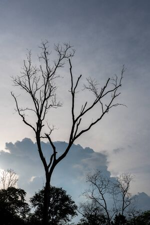 Silhouette of dying tree with overcast sky background. Stock Photo
