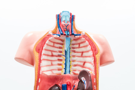 chest cavity: Close-up of Internal organs dummy on white background. Human anatomy model. Thoracic Cavity. Stock Photo