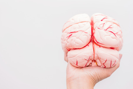 Close-up of Internal organs dummy on white background. Human anatomy model. Anatomy of the Brain.