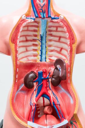 Close-up van interne organenpop op witte achtergrond. Menselijk anatomiemodel. Anatomische lichaamsholten.