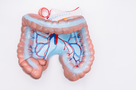 sigmoid colon: Close-up of Internal organs dummy on white background. Human anatomy model. Colon Anatomy.