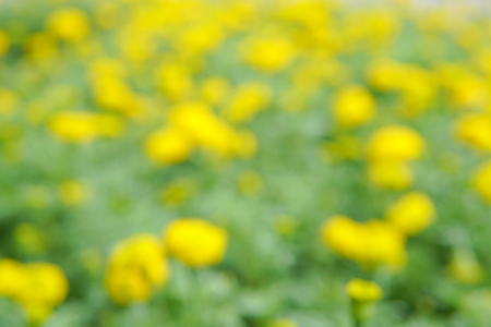 Blurred image of a field of yellow flowers. This looked spectacular and contrasting colors give a feel fresh.