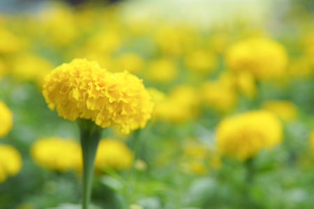 Blurry Background of Field of Marigold Flowers, Look vibrant and gorgeous. Stock fotó
