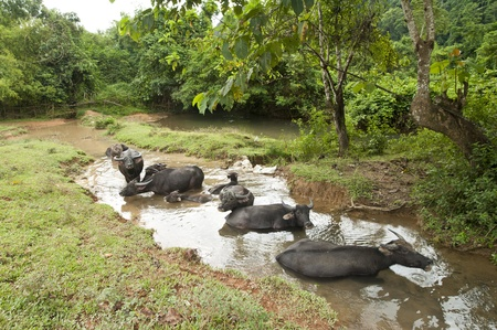 Buffalos stay on watering in the river