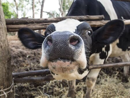 holsteine: Close-up of a funny black and white cow Stock Photo