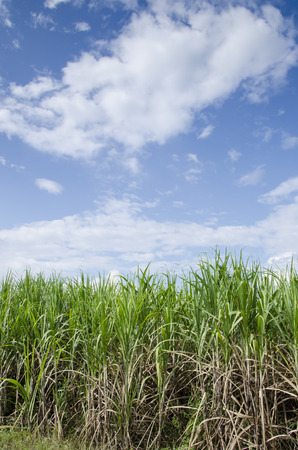 Field of sugarcane under the blue sky photo