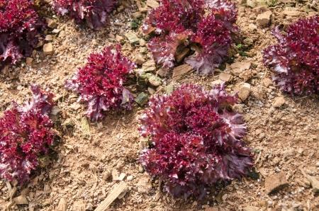 corallo rosso: Red Coral, giardino biologico