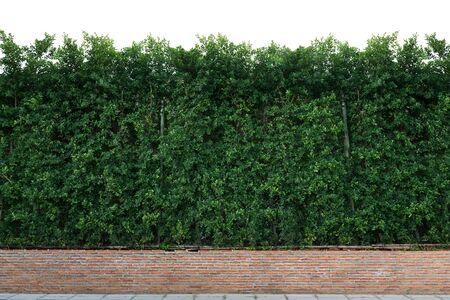 shrubbery: Shrubbery and  brick wall isolated