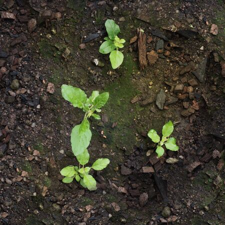 germinate: seedling growing and moss germinateon moist soil top view