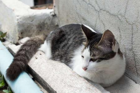 domestic: domestic Cat
