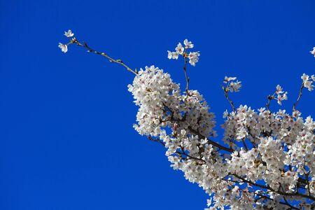bluesky: Sakura blossoms on bluesky