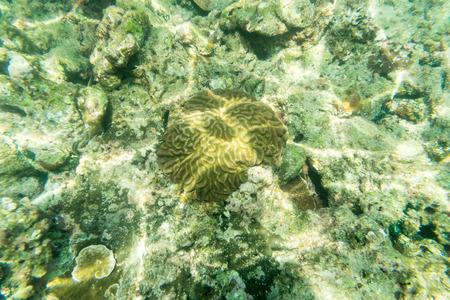 brain coral: brain coral reff underwater fin