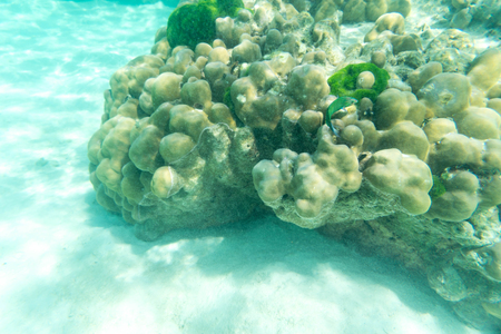 hard coral: underwater life of green fish and hard coral in the sea and sand Stock Photo