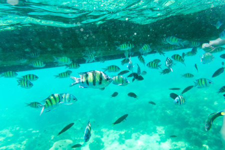 rabbitfish: many STREAKED SPINEFOOTs in the sea underwater view Stock Photo