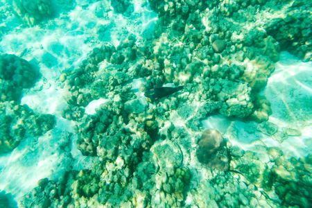 parrotfish: sea parrot underwater view - can use to display or show or montage product