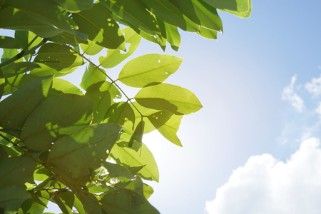 llave de sol: green tree leaf on sun light and blue sky , high key of photo Foto de archivo