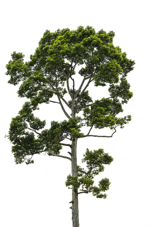 siamensis: big tree on isolate on white background - can use to display or montage on products