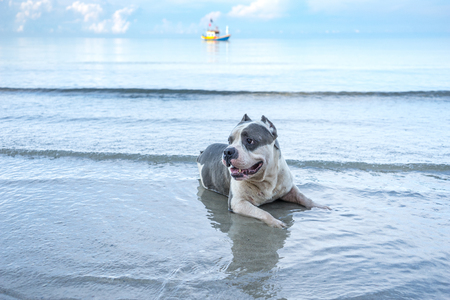 vieux grand pitbull s'asseoir sur la mer pour se détendre et bateau vintage et ciel bleu matin