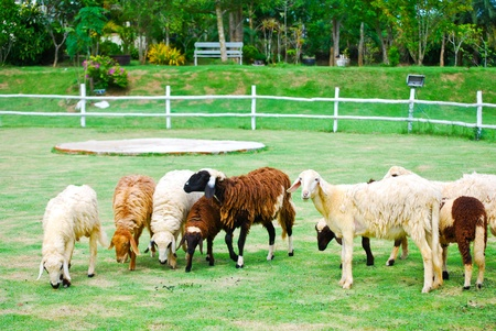 The group sheep eat food on the grass photo