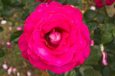 graden: Close up pink rose flower in graden