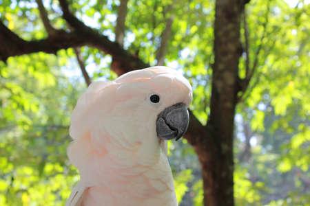Cackatoo closeup beside