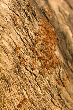 red ant: rojo pelea grupo de hormigas