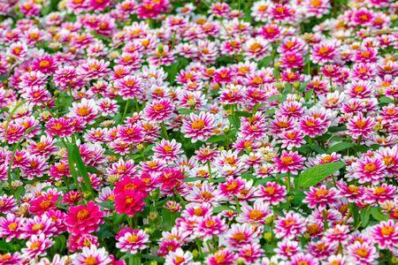 Many Pink flowers bloom Stok Fotoğraf